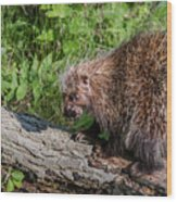 A Prickly Situation Wood Print