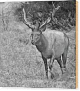 A Rack Of Antlers - Roosevelt Elk - Olympic National Park Wa Wood Print