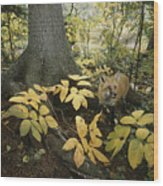 A Red Fox On Isle Royale In Lake Wood Print
