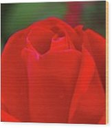 A Red Rose Unfolding  Wood Print