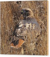 A Red Tailed Hawk  Wood Print