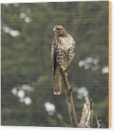 A Red-tailed Hawk Juvenile Wood Print