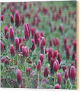 A Riot Of Red Clover Wood Print