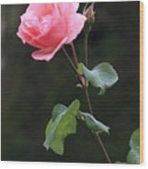 A Rose For Rodin Wood Print