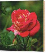 A Rose In Los Gatos Wood Print