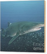 A Sand Tiger Shark Above A School Wood Print