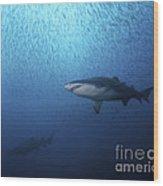 A Sand Tiger Shark And School Of Cigar Wood Print