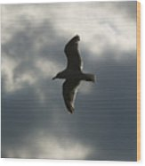 A Seagull With Outstretched Wings Soars Wood Print