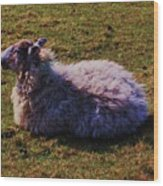 A Sheep In Wales Wood Print