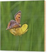 A Small Copper Butterfly (lycaena Wood Print