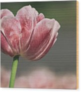 A Soft Tulip In Focus Wood Print