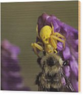 A Spider Eats A Bumblebee While Perched Wood Print