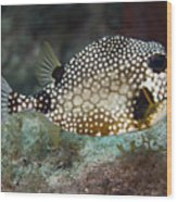 A Spotted Trunkfish, Key Largo, Florida Wood Print