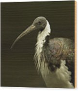 A Straw-necked Ibis Threskiornis Wood Print