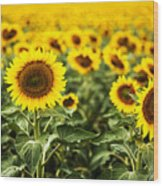 A Sunflower Plantation In Summer In South Dakota Wood Print