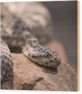 A Tiger Rattlesnake At The Henry Doorly Wood Print