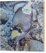 A Titan Triggerfish Faces Wood Print
