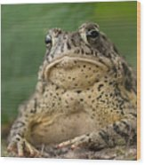 A Toad Appears To Be Frowning He Sits Wood Print