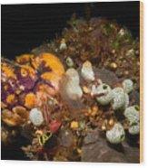 A Ton Of Tunicates Wood Print