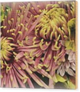 A Touch Of Yellow On Pink Mums Wood Print