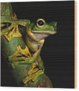 A Wallaces Flying Frog Wood Print