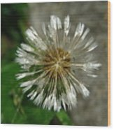 A Wet Dandelion  Wood Print