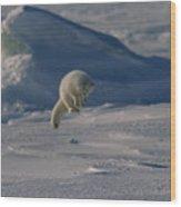 A White Arctic Fox, Alopex Lagopus Wood Print