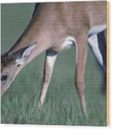 A White-tail Deer Munches On Some Green Wood Print