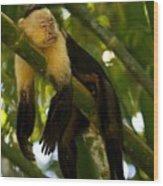 A White-throated Capuchin Monkey Wood Print