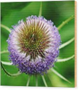 A Wild And Prickly Teasel Wood Print