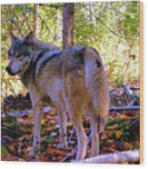 A Wolf Gazes Back Wood Print