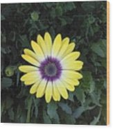 A Yellow Daisy Exhibit Wood Print