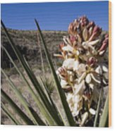 A Yucca Plant Blossoms In The Desert Wood Print
