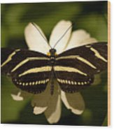 A Zebra-winged Butterfly At The Lincoln Wood Print by Joel Sartore