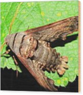 Abbotts Sphinx Moth Wood Print