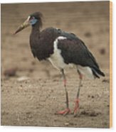 Abdim Stork Walks Right-to-left Across Muddy Ground Wood Print