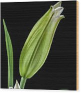 White Oriental Lily About To Bloom Wood Print