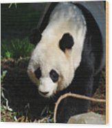 Absolutely Beautiful Giant Panda Bear With A Sweet Face Wood Print