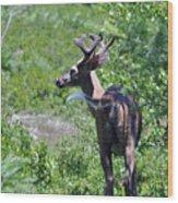 Acadia Buck 2 Wood Print