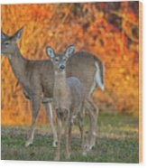 Acadia Deer Wood Print
