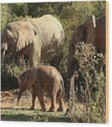 Addo Elephant Family Wood Print