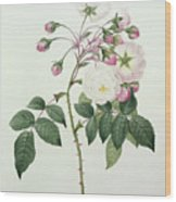Adelia Aurelianensis Wood Print by Pierre Joseph Redoute