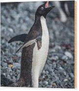 Adelie Penguin Squawking On Grey Shingle Beach Wood Print