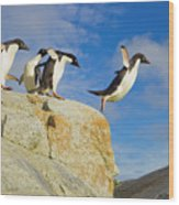 Adelie Penguins Jumping Wood Print