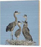 Adolescent Great Blue Herons Wood Print