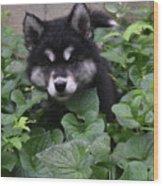 Adorable Alusky Puppy Hiding In A Garden Wood Print
