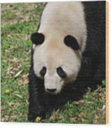 Adorable Face Of A Black And White Giant Panda Bear Wood Print