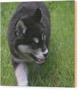 Adorable Fluffy Alusky Puppy Walking In Tall Grass Wood Print