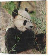 Adorable Giant Panda Bear Eating Bamboo Shoots Wood Print