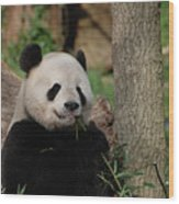 Adorable Giant Panda Eating A Shoot Of Bamboo Wood Print